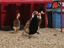 Ducks race at NC State Fair