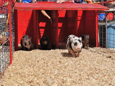 Racing pigs take off at Hogway Speedway during the NC State Fair.