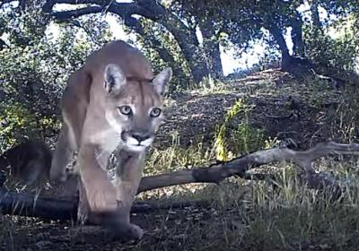 It seems that most mountain lion videos on YouTube involve pulse-pounding rescues or encounters. But this recent video from California showcases the endearing interactions between a mother mountain lion and her two yearling cubs. (Deseret Photo)
