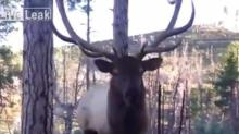 IMAGE: Video shows hunter's frightening encounter with a bugling elk
