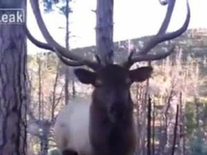 Watch what happens when a hunter gets face-to-face with a large bull elk bugling for a mate. (Deseret Photo)