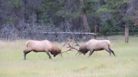 A new video from Canada shows the stunning power that is unleashed when bull elk square off in battle. (Deseret Photo)