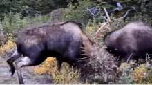 IMAGE: Video shows bull moose fight dangerously close to hunter