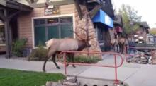 IMAGE: Video shows bugling elk approach shoppers in Colorado