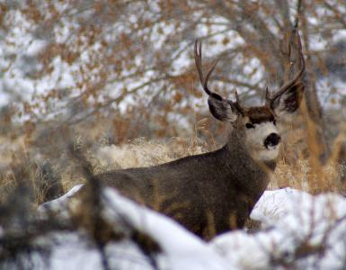 Late fall and early winter is a great time to photograph Utah wildlife like this mule deer buck. (Deseret Photo)