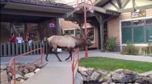IMAGE: Video shows hunter's frighteningly close encounter with bull elk