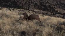 IMAGE: Video shows epic battle between rival bucks