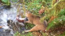 IMAGE: Video shows bobcat catching large salmon