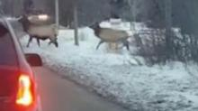 IMAGE: Viral video shows bull elk stop traffic in Idaho