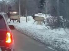 Winter conditions present all kinds of hazards for drivers. This video shows the minor traffic jam that ensued when several bull elk sauntered across a highway in Idaho. (Deseret Photo)