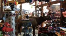 IMAGE: Video shows massive bull elk stroll through gift shop