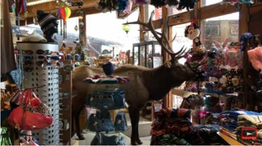 A new video from Colorado shows a large bull elk hitting up the local gift shop. Unlike some videos where wild animals run amuck in stores and then quickly exit, this particular elk decided to spend 45-minutes browsing the merchandise. (Deseret Photo)