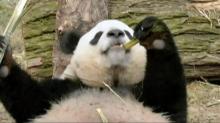 IMAGE: Panda, 23, has twins, becoming 'oldest panda to give birth'