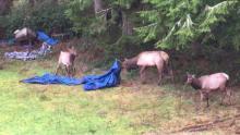 IMAGE: Video shows 'superhero' elk  in Oregon