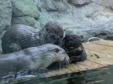 Grandfather Mountain's otters
