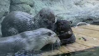 WATCH: Grandfather Mountain's otters play