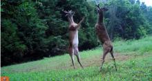 IMAGE: Video captures bizarre 'slap fight' between bucks