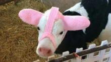 IMAGE: This Farmer Invented 'Moo Muffs' To Keep Newborn Calves Warm