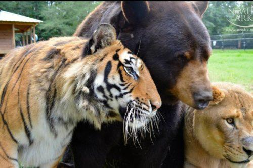 A Lion, A Tiger And A Bear Were Rescued Together As Cubs—and Became Best Friends (Simplemost Photo)