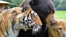 IMAGE: A Lion, A Tiger And A Bear Were Rescued Together As Cubs—and Became Best Friends