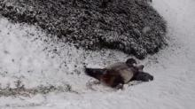 IMAGE: Video Of Pandas Playing In The Snow At The National Zoo Is The Cutest Thing We've Seen In A While