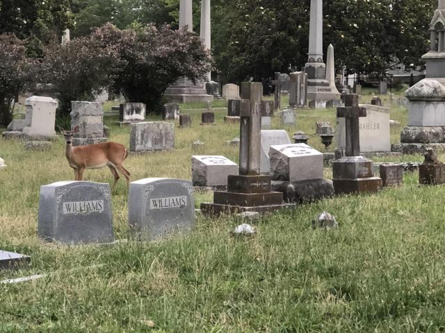 A deer among the headstones at Oakwood Cemetery