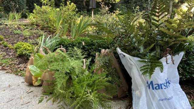Autumn ferns, maidenhair, begonias, mustard, ground covers, all part of the canvas my mother has created over her life.