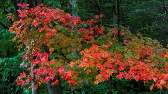 Beautiful leaves from Grandfather Mountain.
