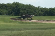 This alligator was recorded on video walking along a golf course by Charles Helms. (Deseret Photo)