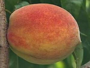 Peach recipes from NC Ag Dept.