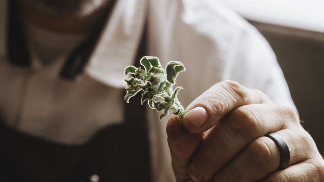Chef Jeremy Fox inspects a tiny ice plant, an ingredient for a new dish at his restaurant Rustic Canyon, in Santa Monica, Calif., July 25, 2018. Putting a new item on the menu is a routine affair for some chefs, a painstaking process for others. (Adam Amengual/The New York Times)