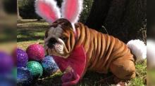 IMAGE: Cadbury's new 'bunny' is a bulldog named Henri