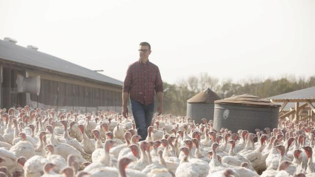 The farmer John Peterson surrounded by turkeys in Cannon Falls, Minn., Oct. 5, 2020. Cooks around the country are just starting to calculate menus and decide how many guests they can safely host for Thanksgiving — but for months, the people who grow and sell the centerpiece of the meal have been doing their own kind of turkey math. (Jenn Ackerman/The New York Times)