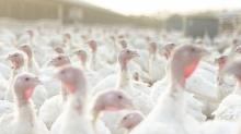 IMAGES: A Disrupted Thanksgiving Leaves the Turkey Business Guessing