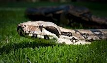 This snake from Busch Gardens will be among the animals on display at the CoolKidz Expo.