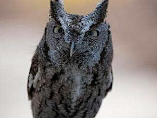 The screech owl from Busch Gardens will be on display at the Southern Women's Show.