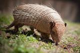 Mild North Carolina winters could mean more armadillos