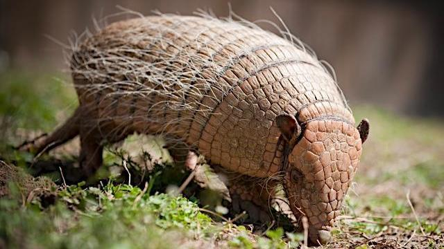 The six-banded armadillo from Busch Gardens will be on display at the CoolKidz Expo.