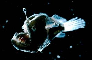 "Angler fish use the glowing ""lure"" that hangs in front of their huge mouths to attract prey. Credit: E. Widder / HBOI"