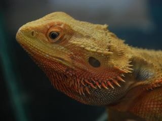 Bearded Dragon at Noah's Landing in Coats, N.C. The zoo will have a two-day Father's Day celebration.