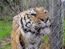 Tiger at Carolina Tiger Rescue