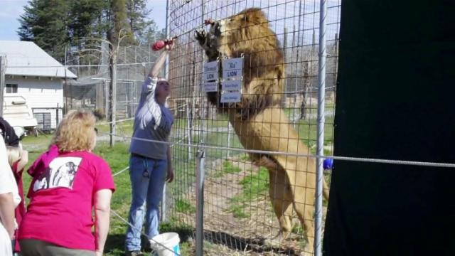 A lion stands so a keeper can check his belly at the Conservators' Center in Mebane.