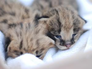 The African serval kittens were recently born at Noah's Landing, the hands-on zoo in Coats. Photo by Jon Page.