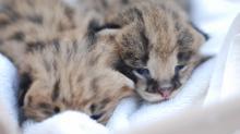 Serval kittens at Noah's Landing