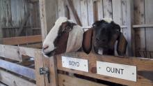Boyd and Quint, the goats at Historic Oak View County Park