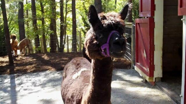 Alpaca at the Museum of Life and Science
