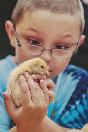 RJ, 6, gets a closeup examination of a baby chick at the NC State Farm Animal Days 2013, held on April 10-12.