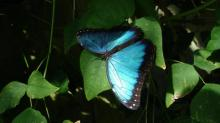 IMAGE: Destination: 1,000 Blue Morpho butterflies at the Museum of Life and Science