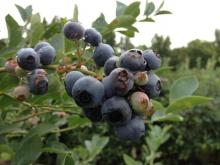 Blueberries at Dr. Young's Pond Berry Farm, Angier
