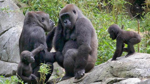 "Baby gorillas ""Bomassa"" (left) and ""Apollo"" (far right) with moms ""Jamani"" (second from left) and ""Olympia"" will both get a first-birthday party at the N.C. Zoo on August 3. N.C. Zoo photo by Diane Villa."